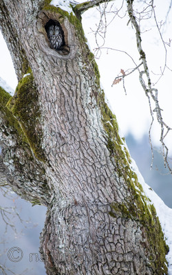 BB_20180311_0016 / Quercus robur / Sommereik <br /> Strix aluco / Kattugle