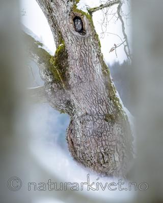 BB_20180311_0026-2 / Quercus robur / Sommereik <br /> Strix aluco / Kattugle