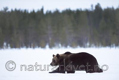 BB_20180417_0397 / Ursus arctos / Brunbjørn