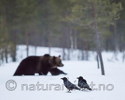 BB_20180417_0433 / Corvus corax / Ravn <br /> Ursus arctos / Brunbjørn