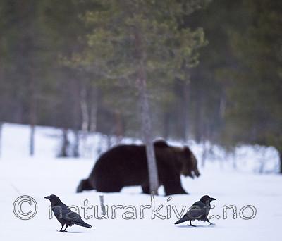 BB_20180417_0442 / Corvus corax / Ravn <br /> Ursus arctos / Brunbjørn