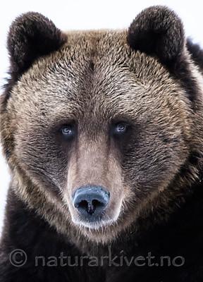 BB_20180417_0605 / Ursus arctos / Brunbjørn