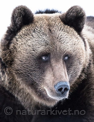 BB_20180417_0613 / Ursus arctos / Brunbjørn