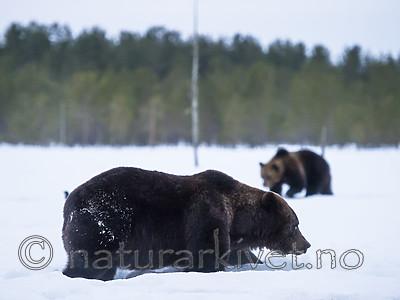 BB_20180417_0682 / Ursus arctos / Brunbjørn
