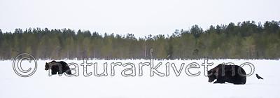 BB_20180417_0702 / Ursus arctos / Brunbjørn
