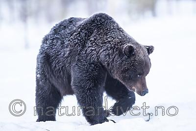 BB_20180418_0045 / Ursus arctos / Brunbjørn