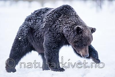 BB_20180418_0054 / Ursus arctos / Brunbjørn