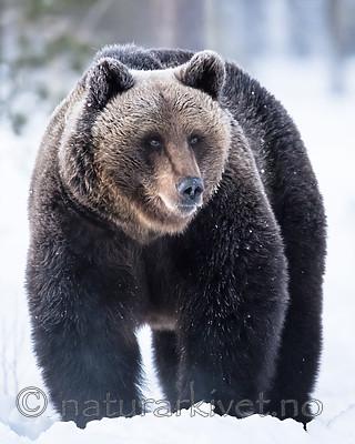 BB_20180418_0096 / Ursus arctos / Brunbjørn