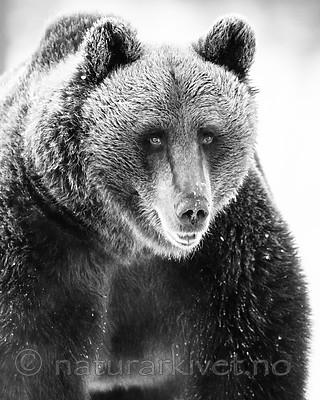 BB_20180418_0155 / Ursus arctos / Brunbjørn