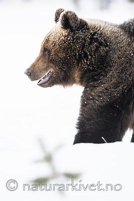 BB_20180418_0290 / Ursus arctos / Brunbjørn