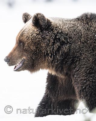 BB_20180418_0292 / Ursus arctos / Brunbjørn