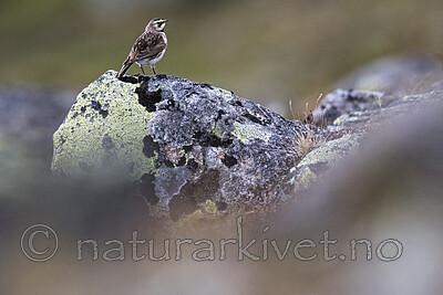 BB_20180621_1735 / Eremophila alpestris / Fjellerke