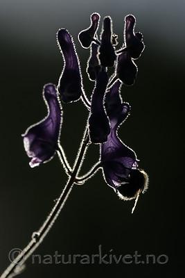 BB_20180707_0202 / Aconitum lycoctonum / Torhjelm