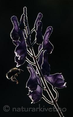 BB_20180707_0242 / Aconitum lycoctonum / Torhjelm