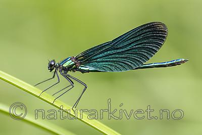 BB_20180712_0240 / Calopteryx virgo / Blåvingevannymfe