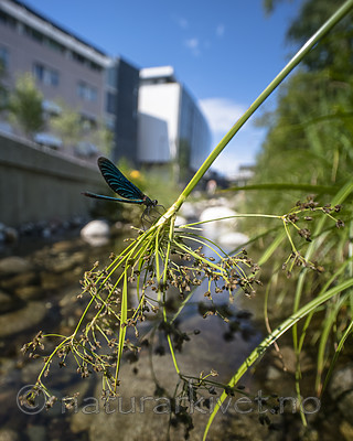 BB_20180712_0287 / Calopteryx virgo / Blåvingevannymfe <br /> Scirpus sylvaticus / Skogsivaks