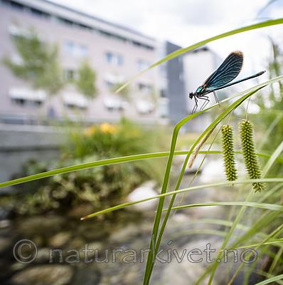 BB_20180712_0497 / Calopteryx virgo / Blåvingevannymfe <br /> Carex pseudocyperus / Dronningstarr