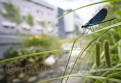 BB_20180712_0501 / Calopteryx virgo / Blåvingevannymfe <br /> Carex pseudocyperus / Dronningstarr
