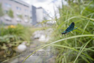 BB_20180712_0507 / Calopteryx virgo / Blåvingevannymfe
