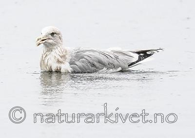 BB_20181111_0152 / Larus argentatus / Gråmåke