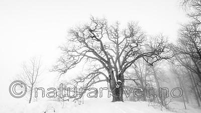 BB_20190120_0044 / Quercus robur / Sommereik