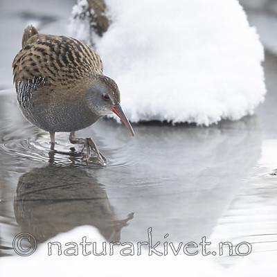 BB_20190129_0128 / Rallus aquaticus / Vannrikse