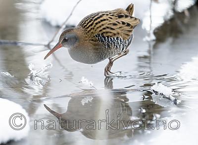 BB_20190129_0296 / Rallus aquaticus / Vannrikse