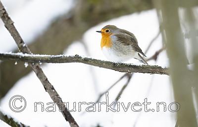 BB_20190129_0309 / Erithacus rubecula / Rødstrupe