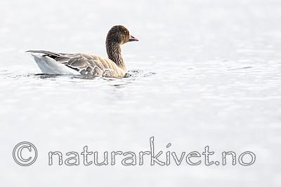 BB_20190325_0047 / Anser brachyrhynchus / Kortnebbgås