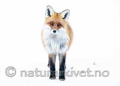 BB_20190419_0038 / Vulpes vulpes / Rødrev