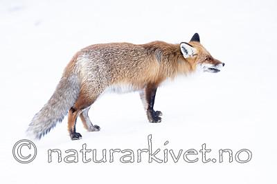BB_20190419_0058 / Vulpes vulpes / Rødrev