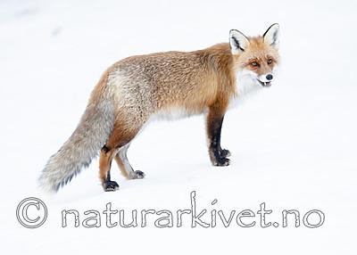 BB_20190419_0067 / Vulpes vulpes / Rødrev