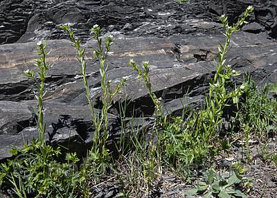 BB_20190514_0067 / Buglossoides arvensis / åkersteinfrø