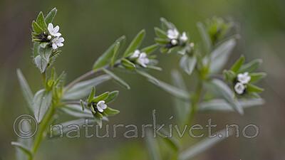 BB_20190515_0144 / Buglossoides arvensis / åkersteinfrø