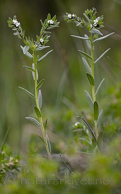 BB_20190515_0187 / Buglossoides arvensis / åkersteinfrø