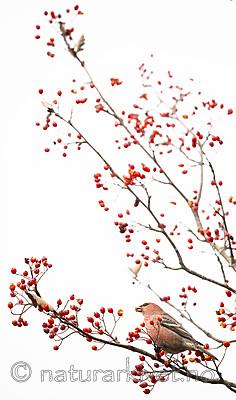 BB_20191103_0196 / Pinicola enucleator / Konglebit <br /> Sorbus intermedia / Svensk asal