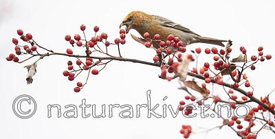 BB_20191103_0245 / Pinicola enucleator / Konglebit <br /> Sorbus intermedia / Svensk asal