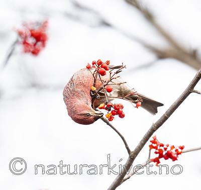 BB_20191106_0007 / Pinicola enucleator / Konglebit <br /> Sorbus aucuparia / Rogn
