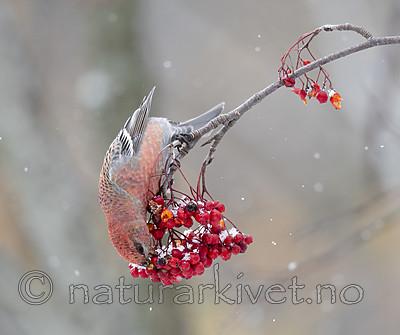 BB_20191110_0370 / Pinicola enucleator / Konglebit <br /> Sorbus aucuparia / Rogn