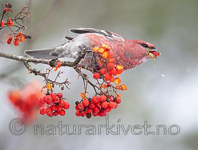 BB_20191110_0557 / Pinicola enucleator / Konglebit <br /> Sorbus aucuparia / Rogn
