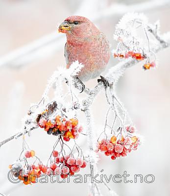 BB_20191201_0245 / Pinicola enucleator / Konglebit <br /> Sorbus aucuparia / Rogn