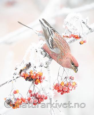 BB_20191201_0249 / Pinicola enucleator / Konglebit <br /> Sorbus aucuparia / Rogn