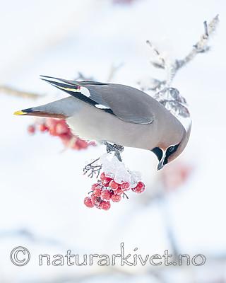 BB_20191202_0373 / Bombycilla garrulus / Sidensvans <br /> Sorbus aucuparia / Rogn