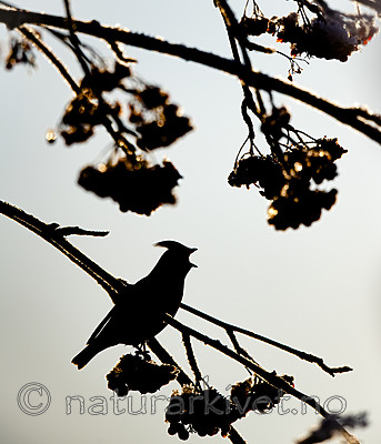 BB_20191202_0384 / Bombycilla garrulus / Sidensvans <br /> Sorbus aucuparia / Rogn