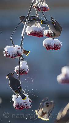 BB_20191202_0520 / Bombycilla garrulus / Sidensvans <br /> Sorbus aucuparia / Rogn