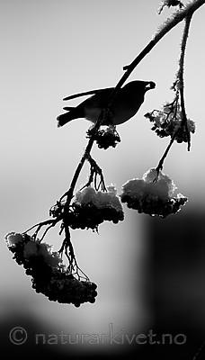 BB_20191202_0527 / Bombycilla garrulus / Sidensvans <br /> Sorbus aucuparia / Rogn