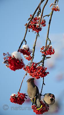 BB_20191202_0622 / Bombycilla garrulus / Sidensvans <br /> Sorbus aucuparia / Rogn