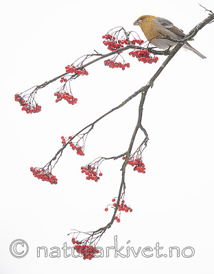 BB_20191208_0366 / Pinicola enucleator / Konglebit <br /> Sorbus aucuparia / Rogn