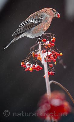 BB_20191208_0495 / Pinicola enucleator / Konglebit <br /> Sorbus aucuparia / Rogn