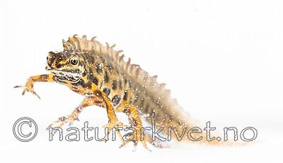 BB_20200426_0120 / Lissotriton vulgaris / Småsalamander